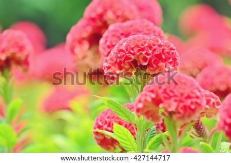 Celosia argentea, cockscomb, red flowers, flower meadow, fluffy flowers, flower in soft tone, red velvet-liked flower - stock photo