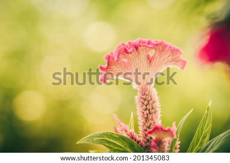 Celosia or Wool flowers or Cockscomb flower in the garden or nature park vintage - stock photo