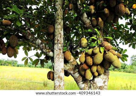 cempedak, Fruit endemic in southern Thailand. - stock photo