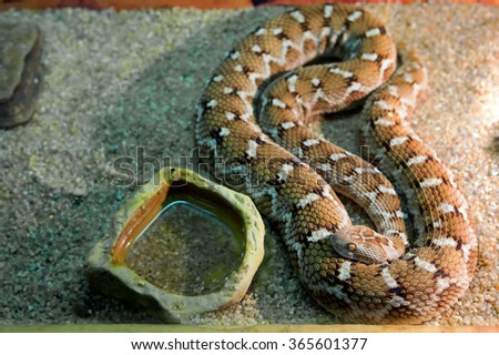 Central asian sand viper A very dangerous, poisonous snake. The top color is grayish-brown, light-yellow sand. Head light cross-shaped pattern resembling the silhouette of a flying bird. - stock photo