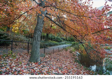 Central Park, New York City maple tree - stock photo
