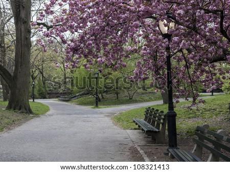 Central Park, New York City Prunus serrulata 'Kanzan' - Japanese Flowering Cherry - stock photo
