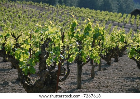 Century old Zinfandel vines in Sonoma county, Northern Califoria - stock photo
