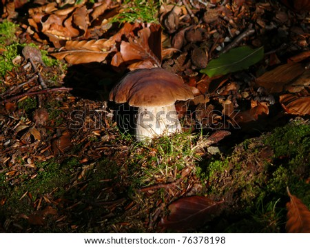 Cep mushroom, Boletus edulis, in the forest with sunlight, Pyrenees Orientales, Roussillon, France - stock photo