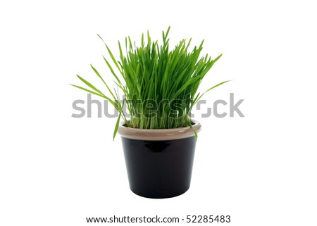 ceramic pot with wheat grass isolated on white - stock photo