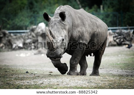 Ceratotherium simum commonly know as white rhino in zoo - stock photo