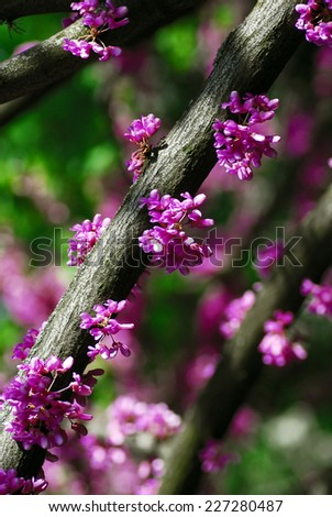 Cercis canadensis (eastern redbud) tree at spring with pink flowers - stock photo