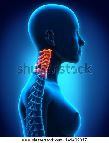 Cervical Spine Anatomy - stock photo