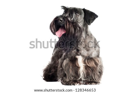cesky terrier dog portrait - stock photo