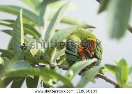 Ceylon hanging-parrot in Ella, Sri Lanka ; specie Loriculus beryllinus - stock photo