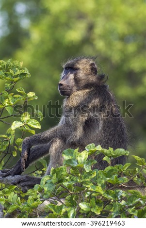 Chacma baboon in Kruger national park, South Africa ; Specie Papio ursinus family of Cercopithecidae - stock photo