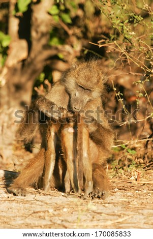 Chacma Baboon, Steppenpavian, South Africa - stock photo