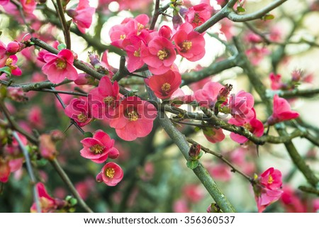 Chaenomeles japonica - stock photo