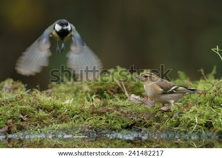 Chaffinch and a great tit fly's away - stock photo