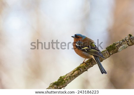 Chaffinch at a tree branch at spring - stock photo