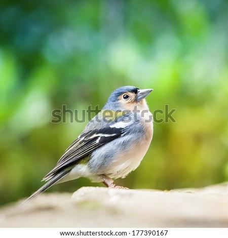 Chaffinch Bird - Fringilla Coelebs Bird on Colorful Background - stock photo