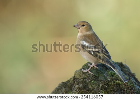 Chaffinch female - stock photo