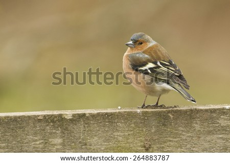 Chaffinch (fringilla coelebs) perched on a fence - stock photo