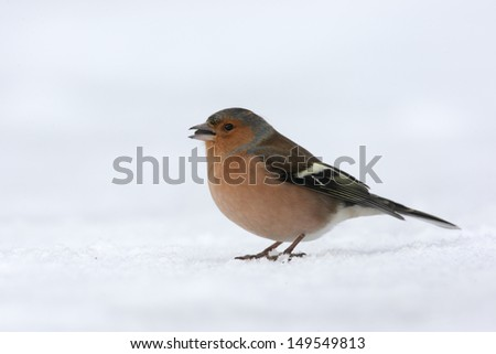 Chaffinch, Fringilla coelebs, Single male standing on snow, Dumfries, Scotland, winter 2009              - stock photo