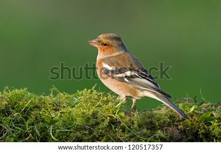 Chaffinch (Fringilla coelebs) sits on moss - stock photo