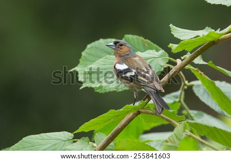 Chaffinch in a green background  - stock photo