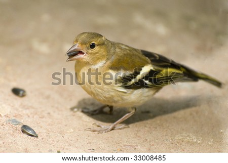 chaffinch in the ground 3 - stock photo