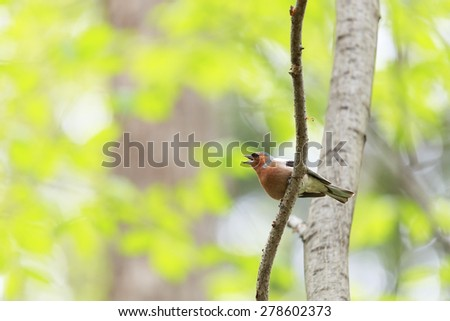 Chaffinch on branch - stock photo
