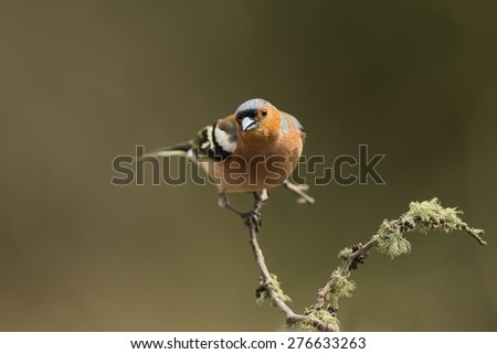 Chaffinch perched on a branch - stock photo