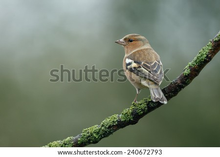 Chaffinch perched on a twig - stock photo