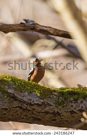Chaffinch singing in  forest at spring - stock photo
