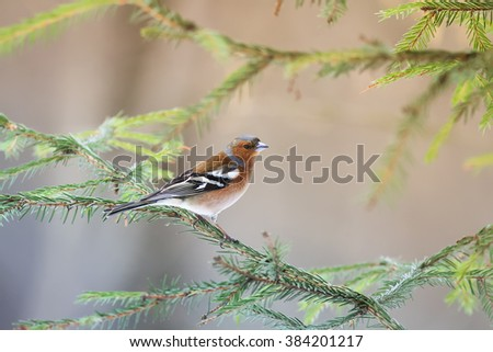 Chaffinch sings on the branches of the Christmas tree - stock photo