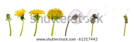 chain of the dandelion flowers from beginning to senility isolated on white background - stock photo