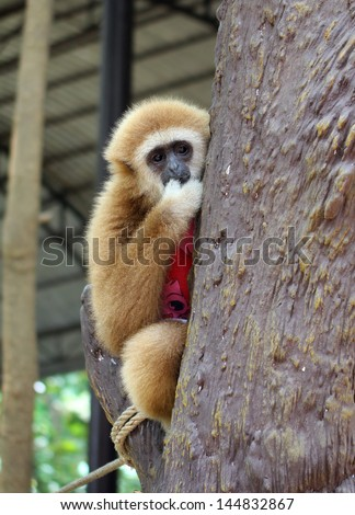 chained gibbon - stock photo