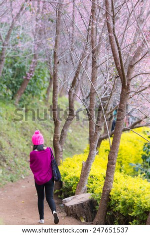 CHAINGMAI, THAILAND - JANUARY 17: An unidentified women view Prunus cerasoides garden. The festival is spring celebration of Thailand on January 17, 2015 in Chaingmai, Thailand.   - stock photo