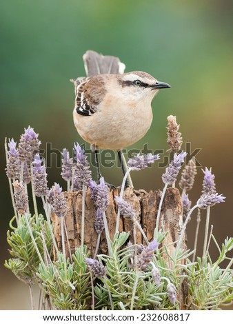 Chalk-browed Mockingbird (Mimus saturninus) perched on a log, surrounded by Common Lavender (Lavandula angustifolia) flowers. Patagonia, Argentina, South America. - stock photo