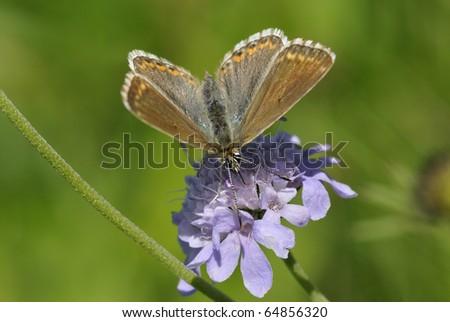 Chalkhill Blue Butterfly - Lysandra coridon, female on Scabious flower - stock photo