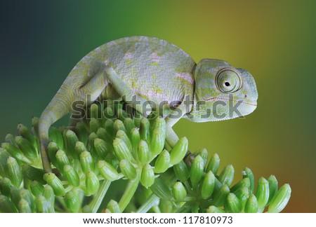 Chamaeleo chamaeleon on a plant - stock photo