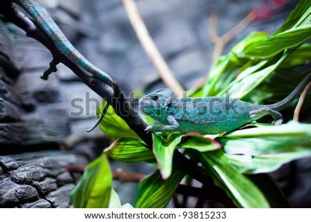 Chamaeleon calyptratus sits on a tree - stock photo