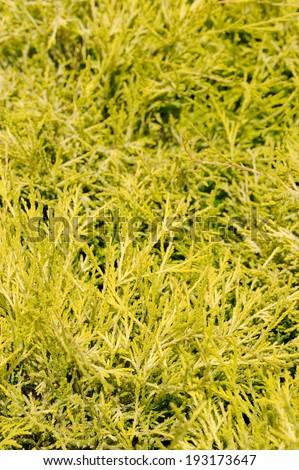 chameacyparis pisifera filifera, groundcover plant, decorative texture in the garden - stock photo