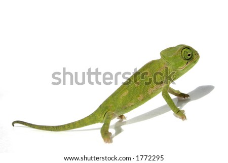 chameleon 2 - stock photo