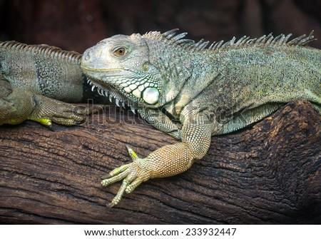 Chameleon Iguana in zoo. - stock photo