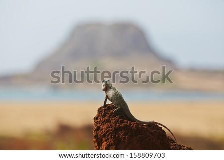 Chameleon in Yala National Park in Sri Lanka - stock photo