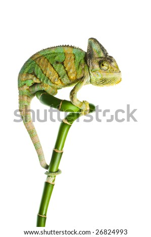 chameleon on a bamboo. isolation on white - stock photo