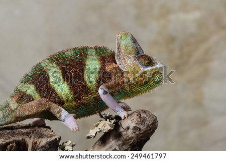 Chameleon on a tree  - stock photo