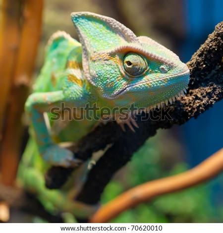 Chameleon on branch - stock photo