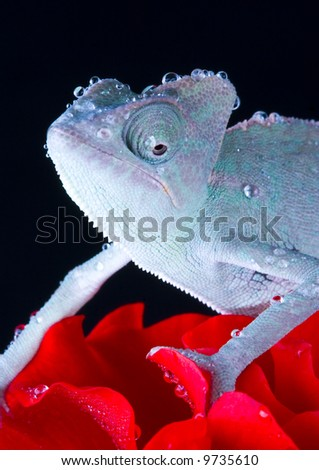 Chameleon on rose - stock photo