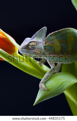 Chameleon on the leaf - stock photo