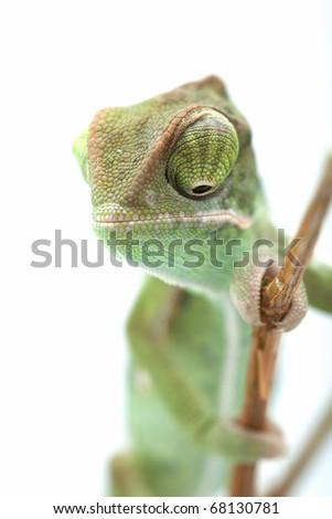 Chameleon posing in light tent, macro focused on eyes - stock photo