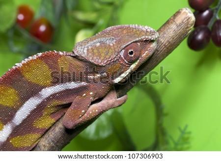 Chameleon red - stock photo