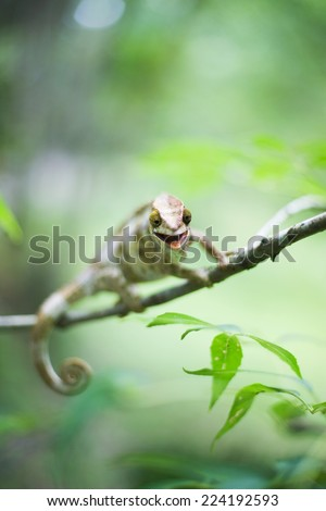 Chameleon resting on branch, looking at camera - stock photo